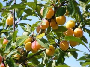 Planter un mirabellier jardiner avec jean paul - Comment proteger les arbres fruitiers du gel ...