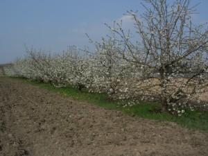 Cerisier avant nettoyage de printemps
