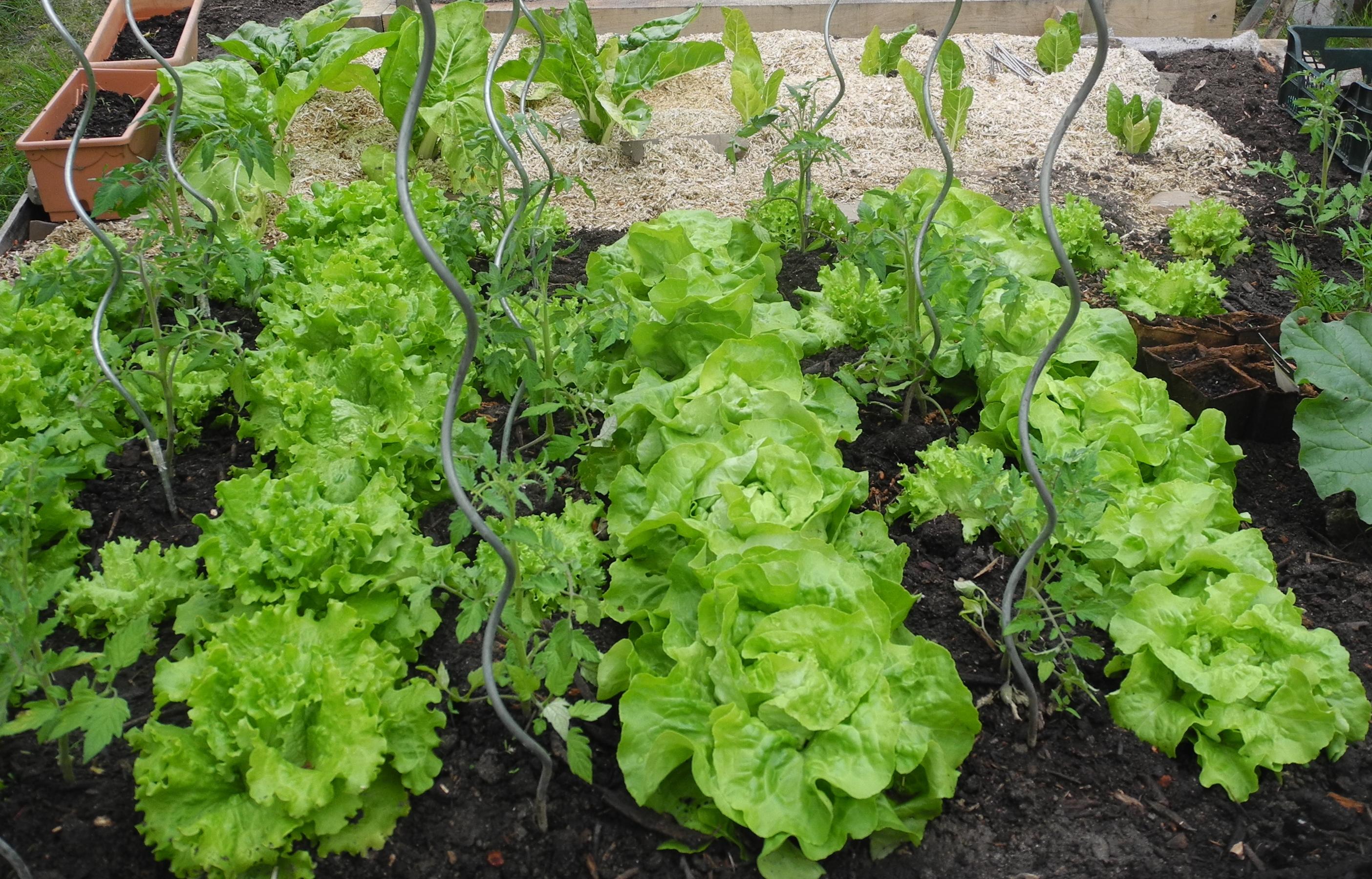 Planter des tomates jardiner avec jean paul - Planter des haricots nains ...