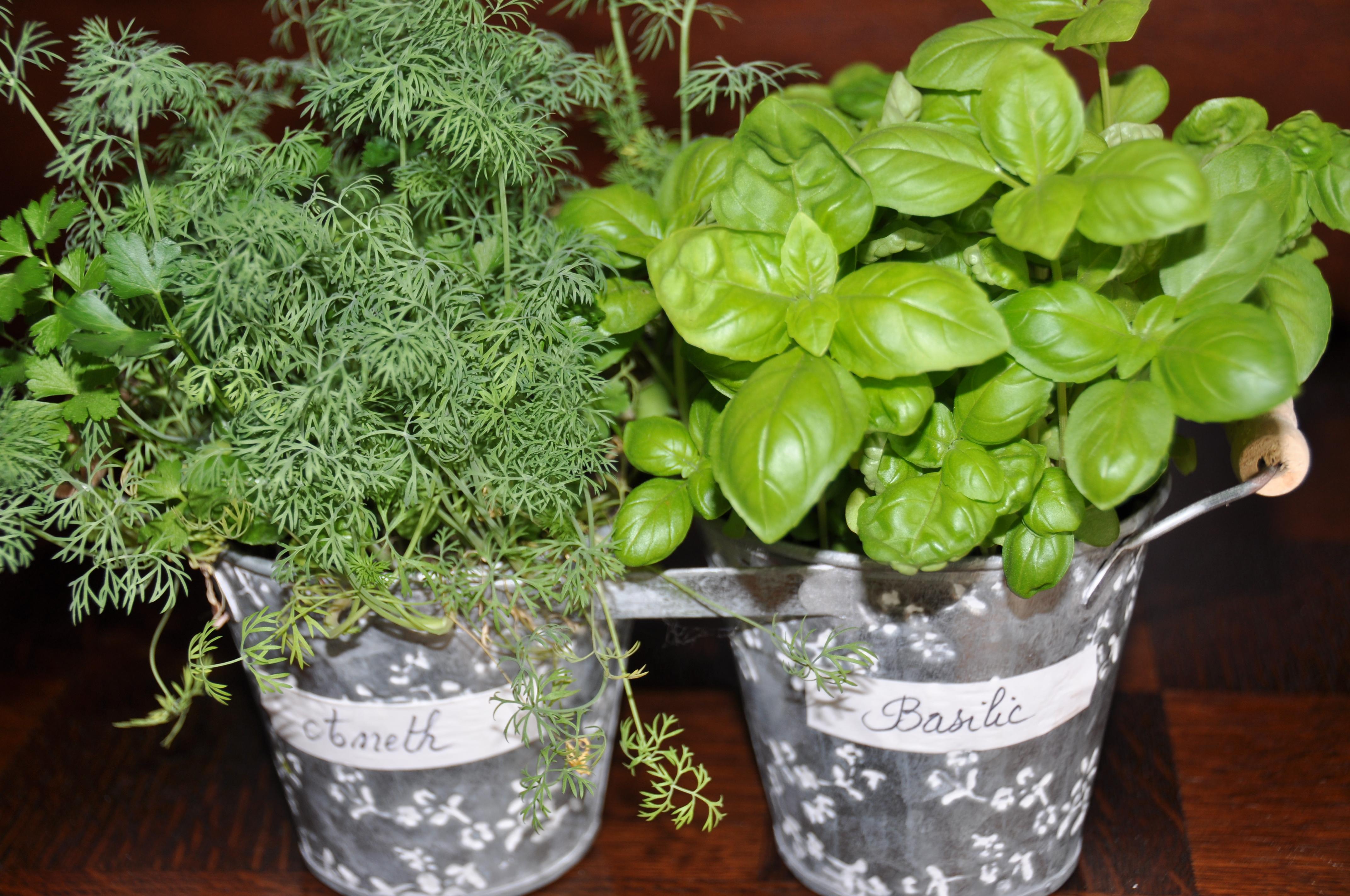 Les plantes aromatiques jardiner avec jean paul for Basilic culture interieur