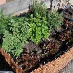 Plantes aromatiques en bac