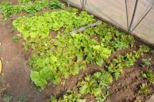 Salades en pleine terre