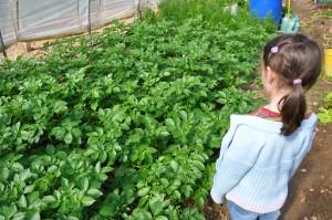 De belles pommes de terre le 6 avril 2011