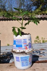 Augmentation du système racinaire de la tomate
