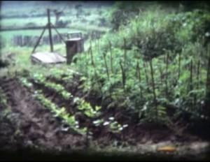 Tomates de mon jardin en Côte d'Ivoire