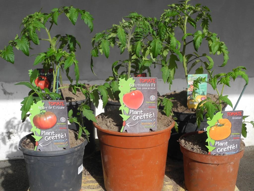 Tomates greffées
