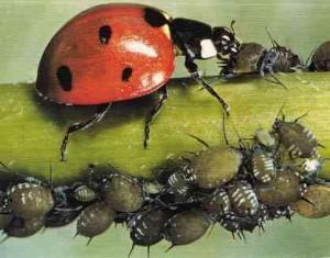La lutte biologique jardiner avec jean paul - La lutte biologique au jardin ...