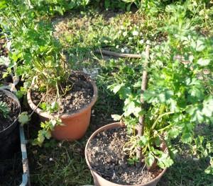 semer la coriandre jardiner avec jean paul. Black Bedroom Furniture Sets. Home Design Ideas
