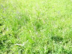 Prairie naturelle fleurie