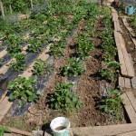 Haricots semés entre les fraisiers