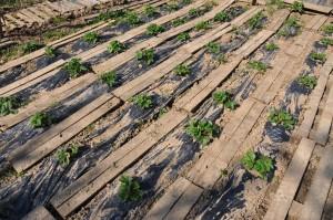 Planches protectrices pour les fraisiers