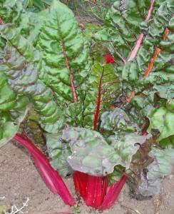Semer des bettes des blettes ou des poir es jardiner - Bettes au jardin ...