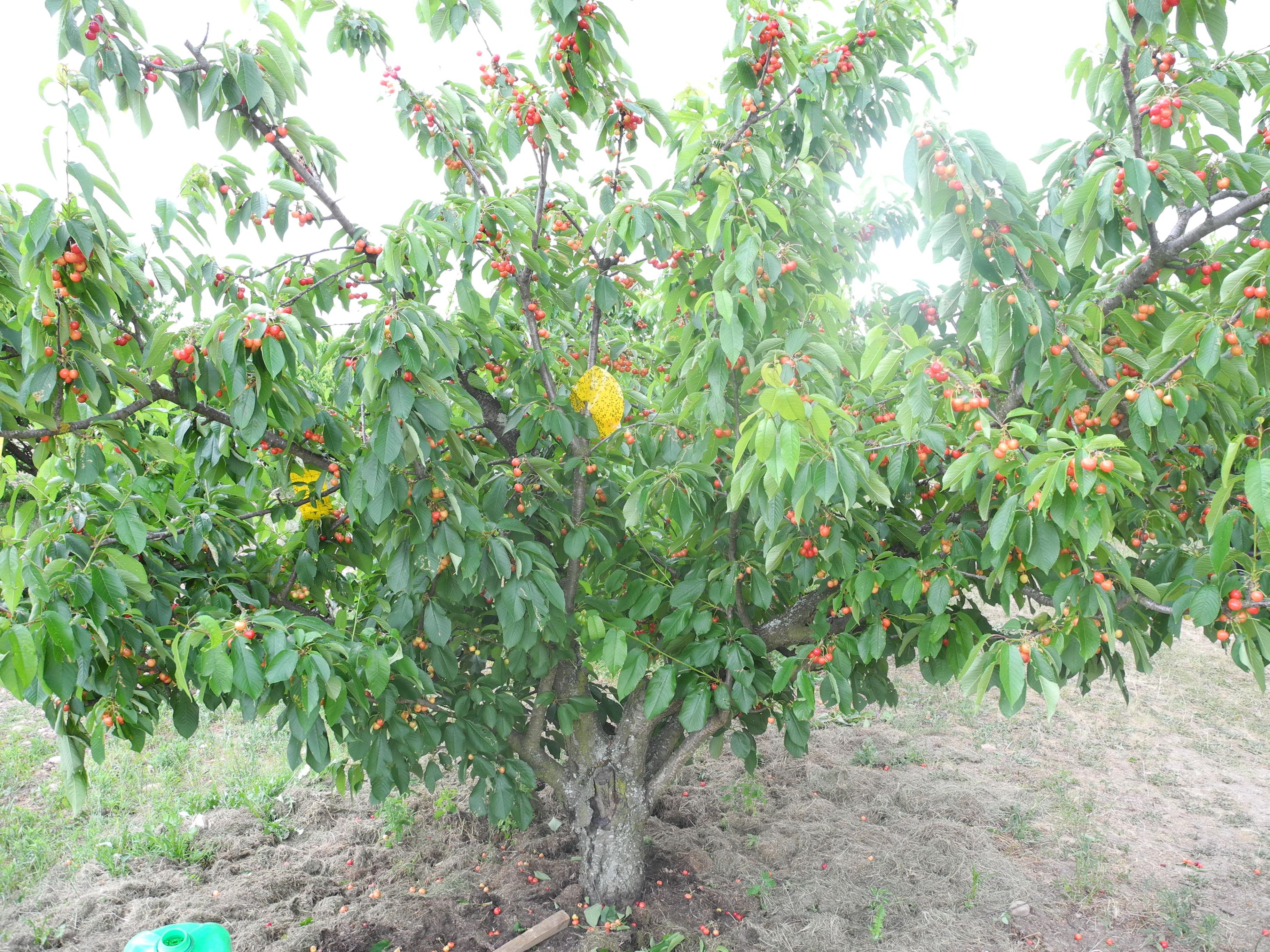 Manger des cerises alimentation bio astuces jardiner avec jean paul - Comment planter un cerisier ...