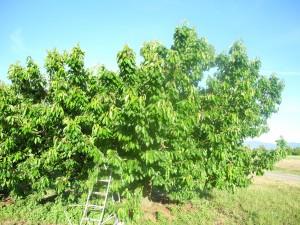 Tailler les cerisiers jardiner avec jean paul - Quand tailler cerisier ...