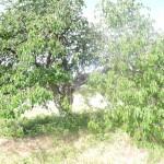 Cerisier plein vent à tailler
