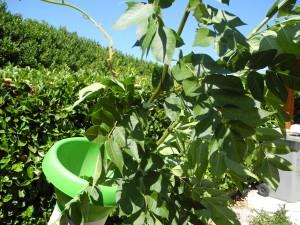 Bois raméal fragmenté: Tiges de frêne