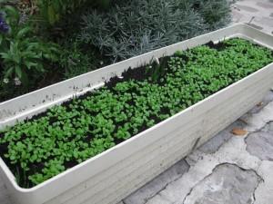 Semer de la m che dans un pot sur un balcon jardiner - Quand semer la mache avec la lune ...