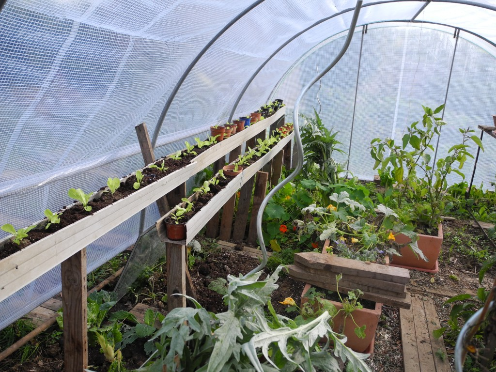Salades repiquées sous serre