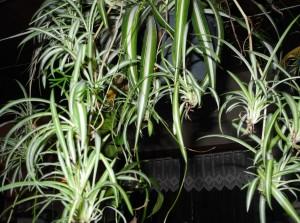 La plante araign e phalang re chlorophytum jardiner for Achat plante sur internet