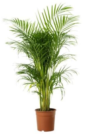 palmier interieur areca