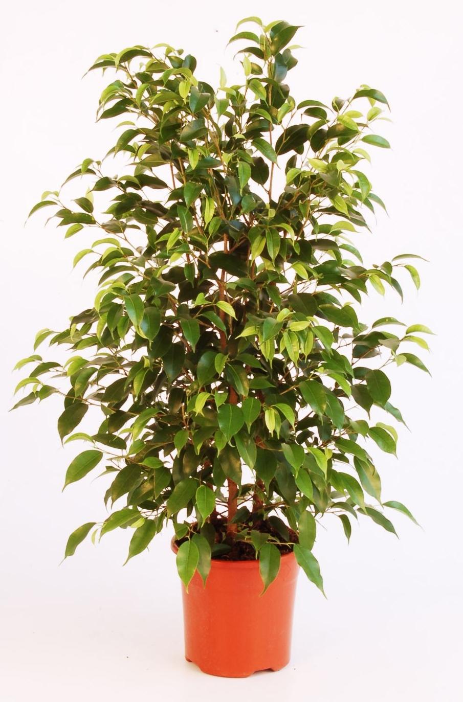 Le figuier pleureur jardiner avec jean paul for Arbuste interieur