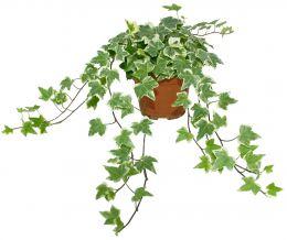 planter un lierre