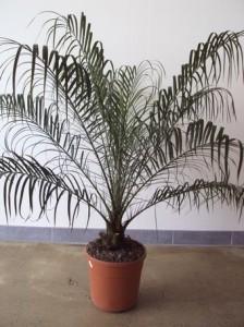 Le palmier dattier nain jardiner avec jean paul - Palmier nain en pot ...
