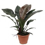 Philodendron rouge