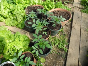 Planter des tomates cerises en pots jardiner avec jean paul - Quand planter des tomates cerises ...