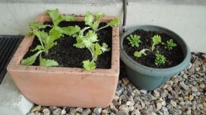 Plants de salades et de mâches