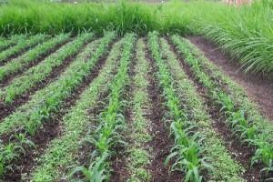 Champs de maïs bio en push-pull