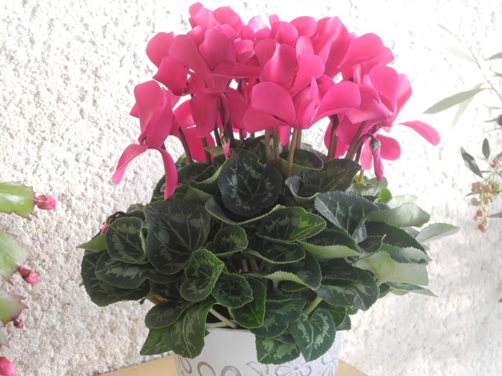 Plantes d 39 int rieur en hiver jardiner avec jean paul for Plante en hiver
