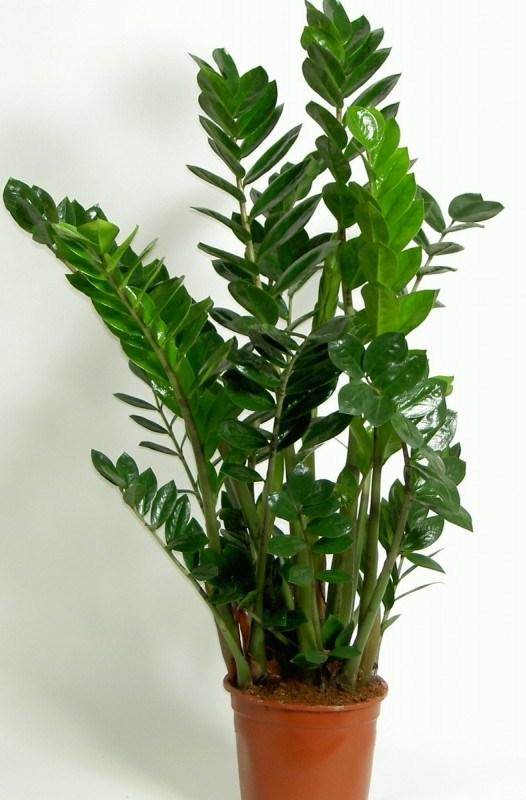 Plantes d 39 int rieur en hiver jardiner avec jean paul - Plante verte palmier d interieur ...
