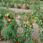 Tomates malades