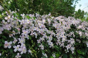 Clématite en fleurs