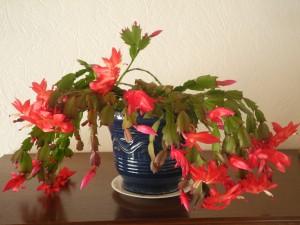 plante grasse schlumbergera