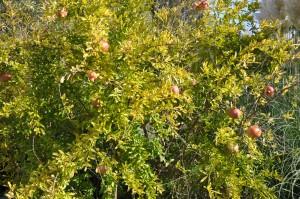 Grenade en automne