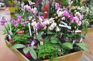 Fleurs d 39 int rieur archives jardiner avec jean paul - Arrosage orchidee d interieur ...