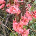 Calendrier de la floraison des arbustes jardiner avec - Cognassier du japon taille ...