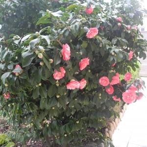Calendrier de la floraison des arbustes jardiner avec jean paul - Les plus beaux arbustes persistants ...