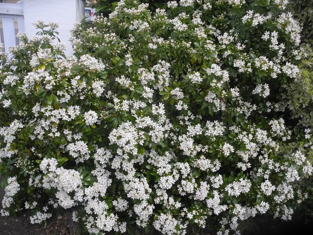 Taille des arbustes jardiner avec jean paul - Oranger du mexique taille ...