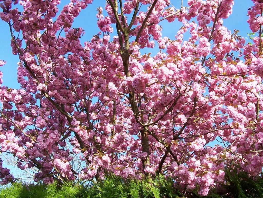 Familles de plantes fruits l gumes plantes aromatiques engrais verts jardiner avec jean paul - Pommier du japon fruit ...