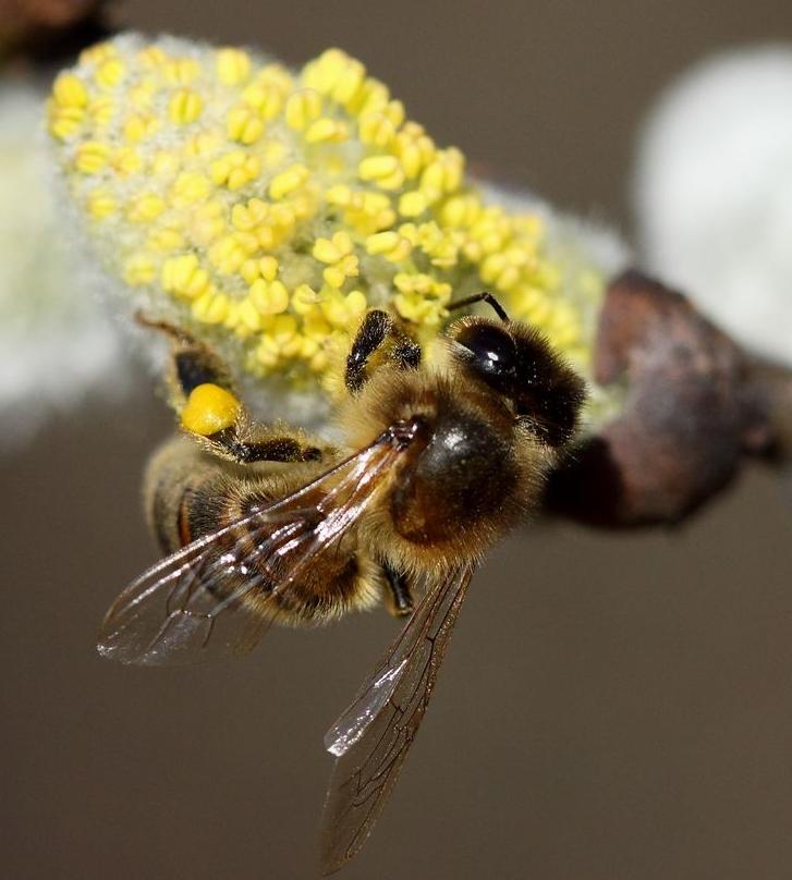 miellée de printemps colza