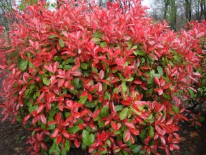 Photinia jardiner avec jean paul for Arbuste a feuille rouge