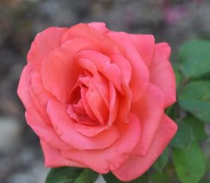 50 nuances de roses jardiner avec jean paul. Black Bedroom Furniture Sets. Home Design Ideas