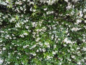 Arbustes d'extérieur décoratifs Archives - Jardiner avec ...