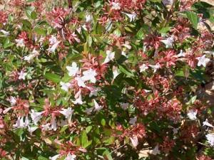 Abelia-x-grandiflora