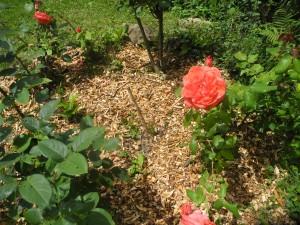 Paillage des rosiers