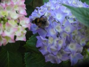 Hortensia jardiner avec jean paul - Quelle terre pour hortensia ...