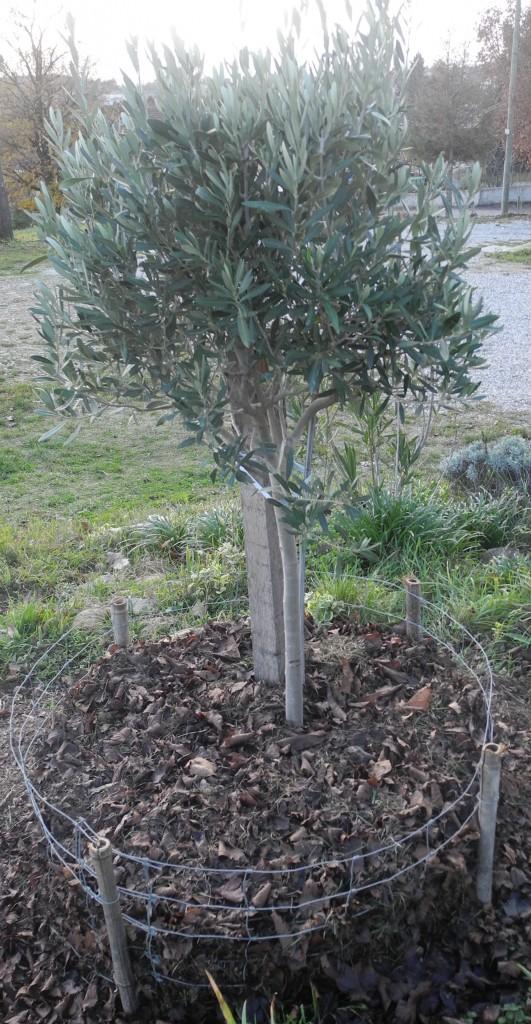 Protection plus sophistiquée de l'olivier du beau-frère